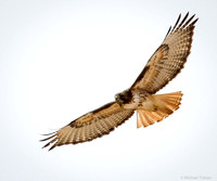 Western Red-tailed Hawk