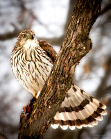 Cooper's Hawk with Prey #1