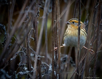 LeConte's Sparrow Doing the Spilts