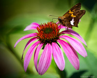 Skipper Enjoying a  Purple Coneflower