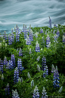 Lupine by Rapids